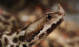 Ова е најопасната змија во Македонија (ФОТО)