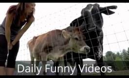 Како кравите реагираат на музика? (видео)