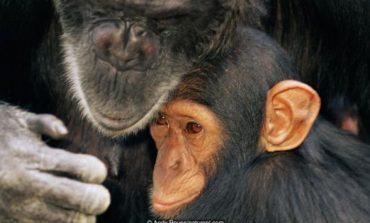 Како шимпанзите тагуваат по мртвиот пријател? (видео)