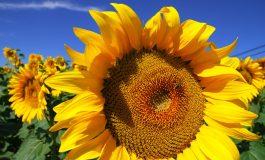 Зошто сончогледот го следи Сонцето?