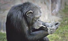 Шимпанза која пуши цигари е ѕвезда во зоолошката градина (фото)
