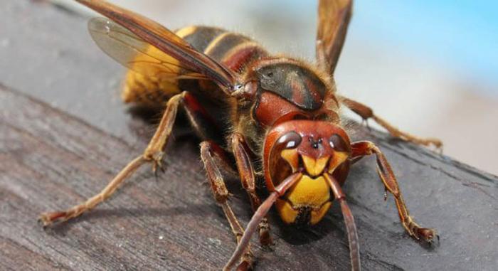 Ова ќе ве спаси од болката ако ве касне оса, пчела или стршлен