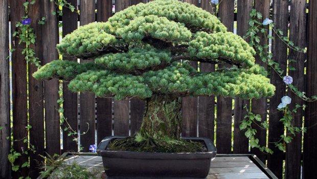 Дрво старо 400 години  ја преживало и атомската бомба во Хирошима