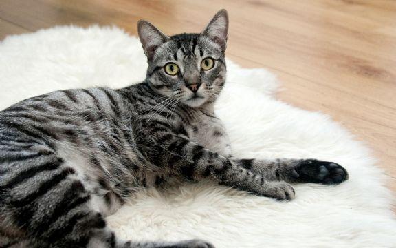 Ново истражување покажува дека мачките не се домашни животни