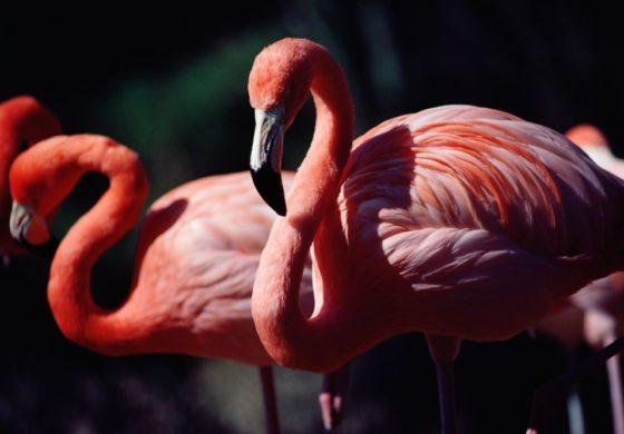 Маж силувал фламинго до смрт