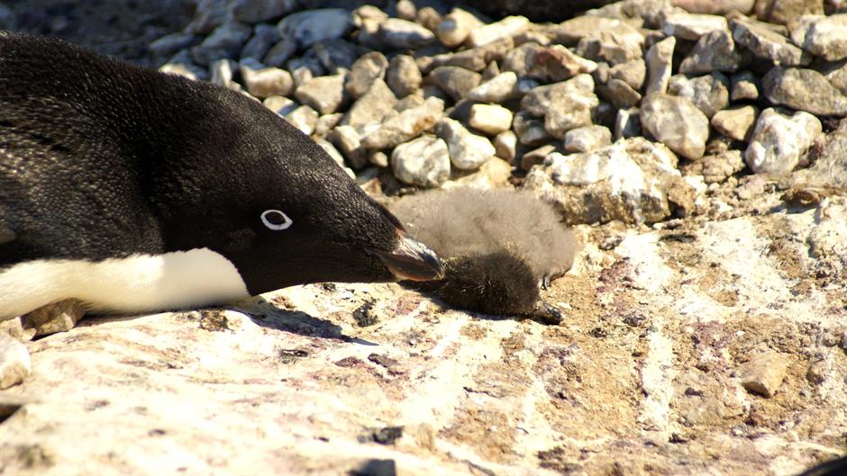 Илјадници пингвини угинаа од глад на Антарктикот