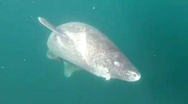 Пронајдена ајкула стара 512 години (видео)