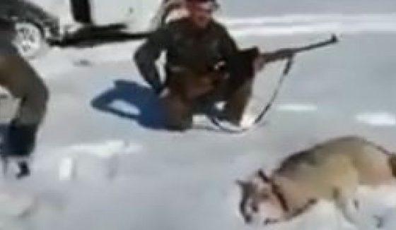 Сакаше да провери дали волкот е мртов, но следуваше непријатно изненадување (ВИДЕО)