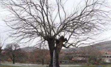 Поради ова дрво едно село во Црна Гора стана светски феномен (ВИДЕО)