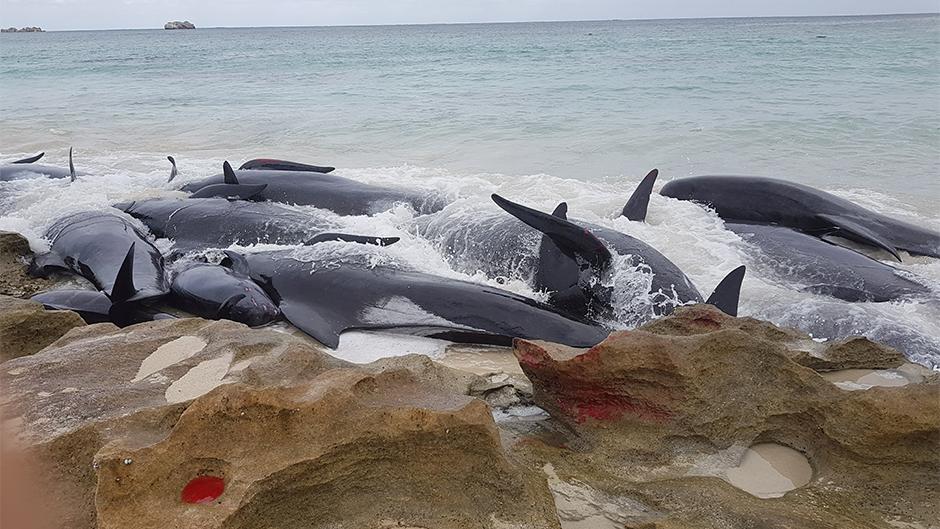 Над 150 китови се насукаа на брегот на Австралија
