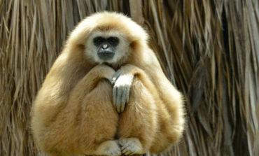Пронајден мистериозен вид на изумрен мајмун
