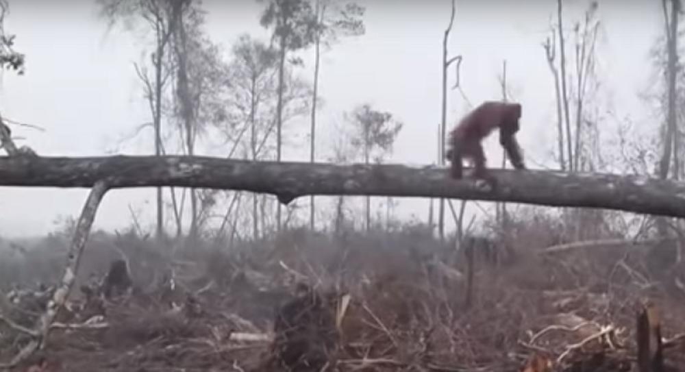 Орангутан за малку ќе угинеше во обид да си го спаси домот од човекот (ВИДЕО)