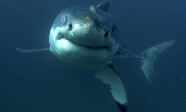 По 40 години голема бела ајкула забележана близу шпанското крајбрежје