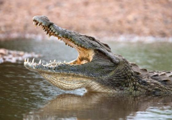 Крокодил со заби и го влечел детето: МАЈКАТА ХЕРОЈ со голи раце го спаси синот (ВИДЕО)