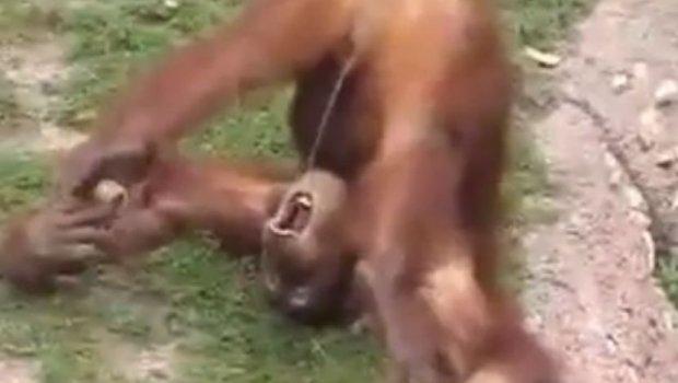 Од мајмуни можеш свашта да очекуеш, ама овј ги помера границе (ВИДЕО)