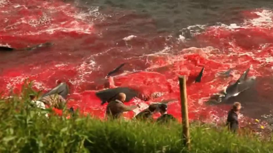 Десетици китови убиени во заливот на Фарските острови (ВОЗНЕМИРУВАЧКО ВИДЕО)