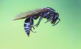 Истражување: Отров од бразилската оса ги убива клетките на рак