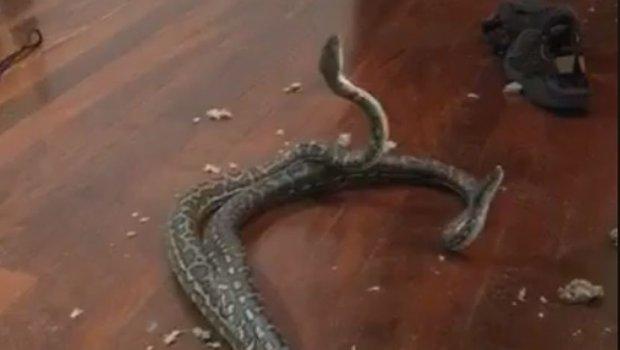 Слушнале бучава од горниот кат, а таму затекнале змии во борба (ВИДЕО)