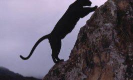 Црн пантер ја парализираше Шкотска, во потрагата вклучени и хеликоптери (ВИДЕО)