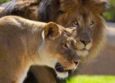 Лавицата по осум години заеднички живот го убила лавот