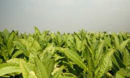 Заврши откупот на тутунот од реколтата 2018, постигната просечна откупна цена од 214,24 денари за килограм