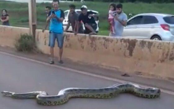 Огромна змија го блокираше сообраќајот и си помина слободно преку улицата (ВИДЕО)