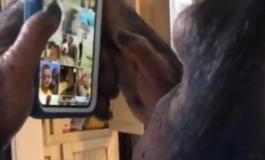 Оваа шимпанза знае да користи интернет (ВИДЕО)