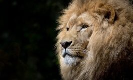 Ова е најголемиот лав во светот (ВИДЕО)