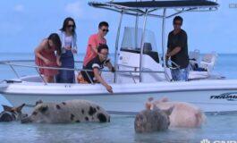 Ако заминете на Бахами, прасе ќе плива заедно со вас (ВИДЕО)
