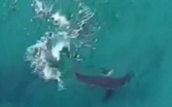 Ајкула снимена во близина на сурфер, капачите евакуирани во последен момент (ВИДЕО)