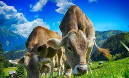 Австраија со посебни упатства како да се однесувате во близина на крава