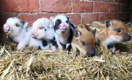 Кафетерии за љубители на прасиња – нов хит во светот (ФОТО)