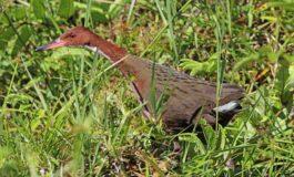 Птица изумрена пред 136.000 години повторно се појави