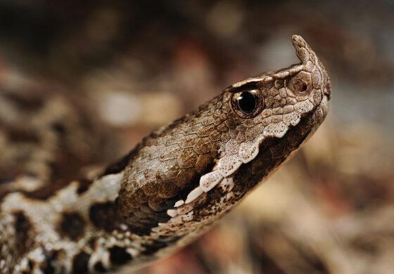 Бидете внимателни: Ова е најопасната змија во Македонија