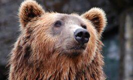 Русин каснал мечка за јазикот