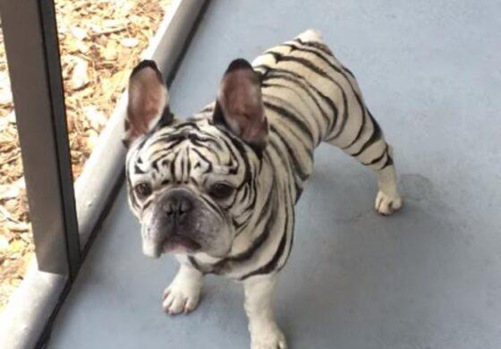 ЕДИНСТВЕН ВО СВЕТОТ: Овој мај булдог е вистински тигар (ВИДЕО)