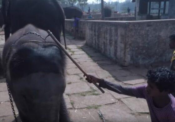 ХОРОР: Вака ги мачат слоновите за да туристите можат да уживаат (ВИДЕО)