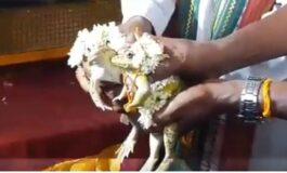 Венчале жаби и ги испратиле на меден месец, веруваат дека тоа е спас од сушата (ВИДЕО)