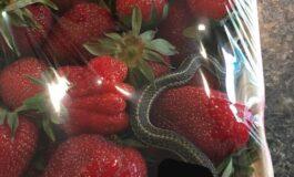 Сакале да купат јагоди, а во пакувањето со нив имало неочекувано суштество (ФОТО)