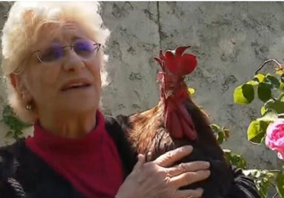 Во Франција ќе му се суди на петел бидејќи кукурика премногу гласно и рано