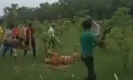 Тигар нападнал 9 мештани, па 40 соселани го тепале додека не угинал (ВИДЕО)