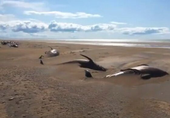 Тргнале во разгледување на Исланд со хеликоптер, па на плажа забележале 50 мртви китови (ВИДЕО)