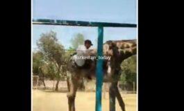 Се напил па почнал да јава жирафа во зоолошка градина (ВИДЕО)
