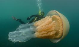 Медуза голема колку човек снимена на дното од океанот (ВИДЕО)
