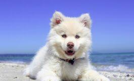 Може ли кучето да добие изгореници од сонце?