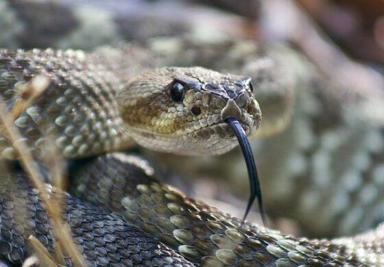 ПАНИКА ВО КЕМБРИЏ: Му избегала змијата, во тек активна потрага