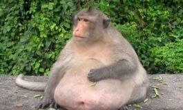 Дебелиот мајмун од Тајланд веројатно е мртов, исчезнал од кампот за дебели (ВИДЕО)