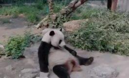 Туристи гаѓале панда со камења, затоа што не сакала да се разбуди (ВИДЕО)