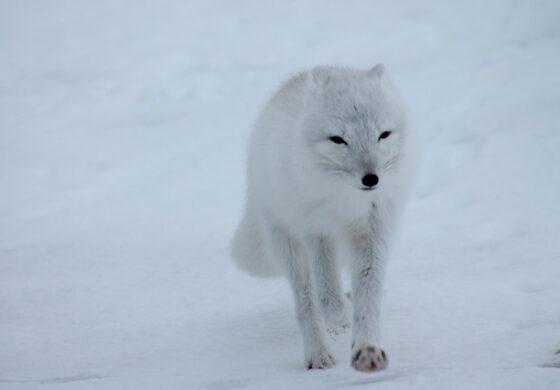 Авантура долга 3.500 километри: Лисица се прошета од Норвешка до Канада