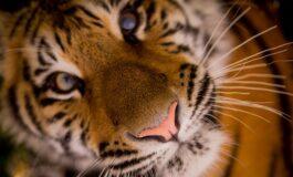 ИНДИЈА: Уморен тигар влегол да дремне во една куќа